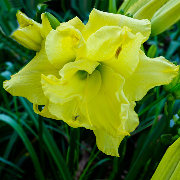 http://www.indianadaylilyirissociety.org/DaylilyNCAP2017/Yellow_Cupcakes.jpg
