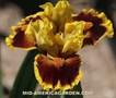 http://www.indianadaylilyirissociety.org/IrisNCAP2020/Searing_Embers.jpg
