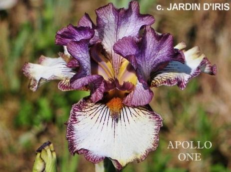http://www.indianadaylilyirissociety.org/IrisNCAP2021/Apollo_One.jpg